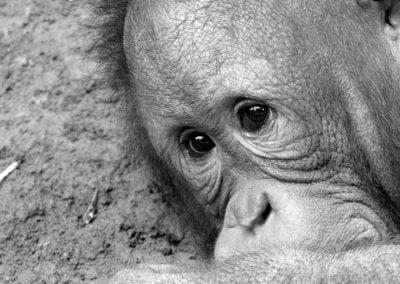 Orangutan © NICHOLSON CREATIVE